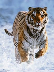 Puzzle Animali 500 pezzi Ravensburger Tigre sulla Neve