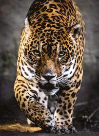 Puzzle Animali 1000 pezzi Clementoni Walk on the Jaguar