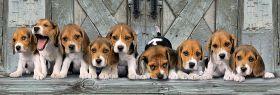 Puzzle 1000 pezzi Beagles Clementoni su ARSLUDICA.com